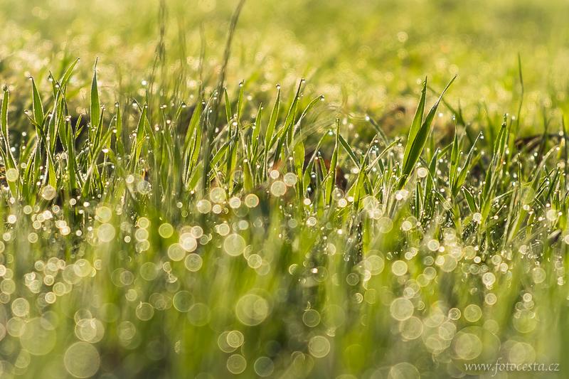 Rosa v trávě.
