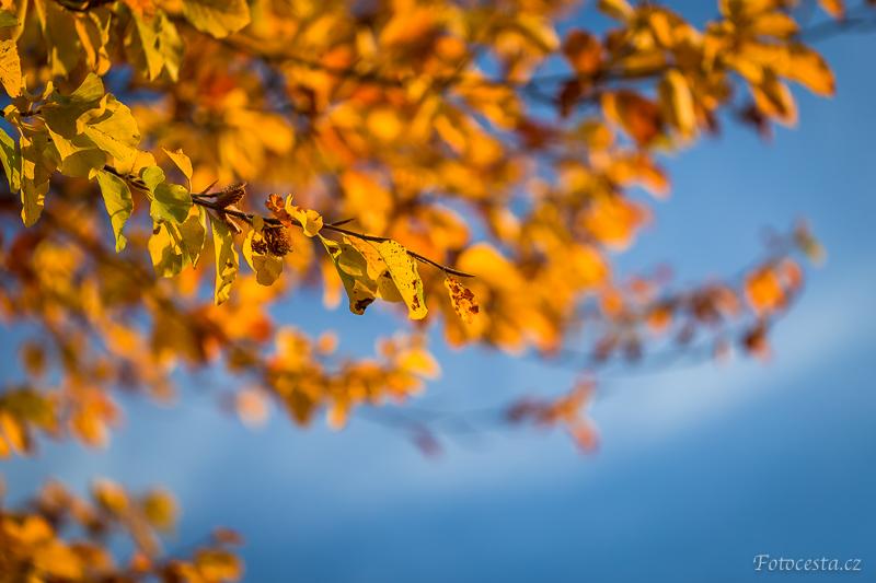 Kontrast žlutých listů a modré oblohy.