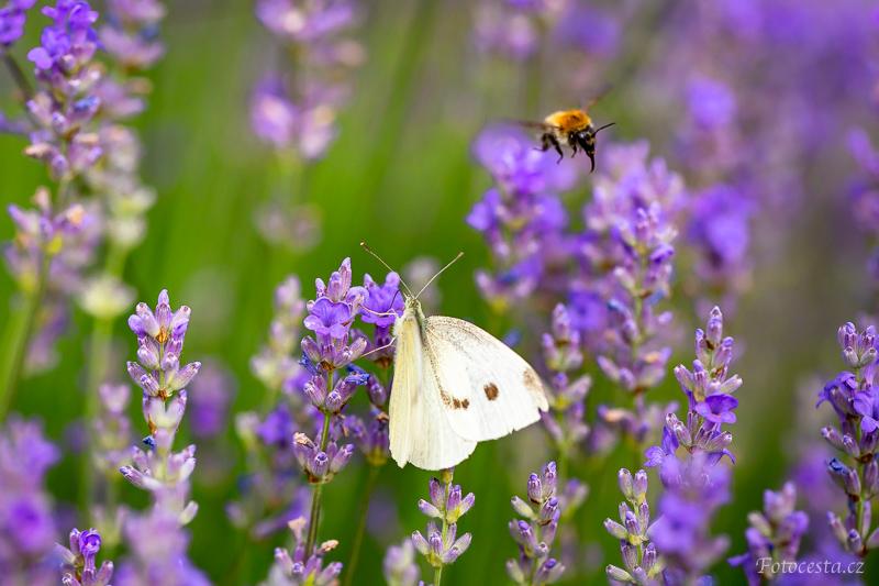 Motýl a čmelák v levanduli.