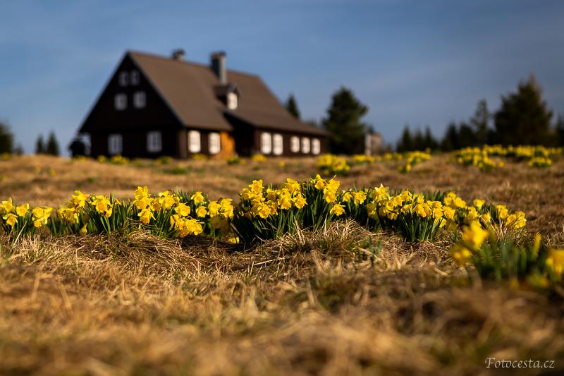 Žluté narcisy na Jizerce.
