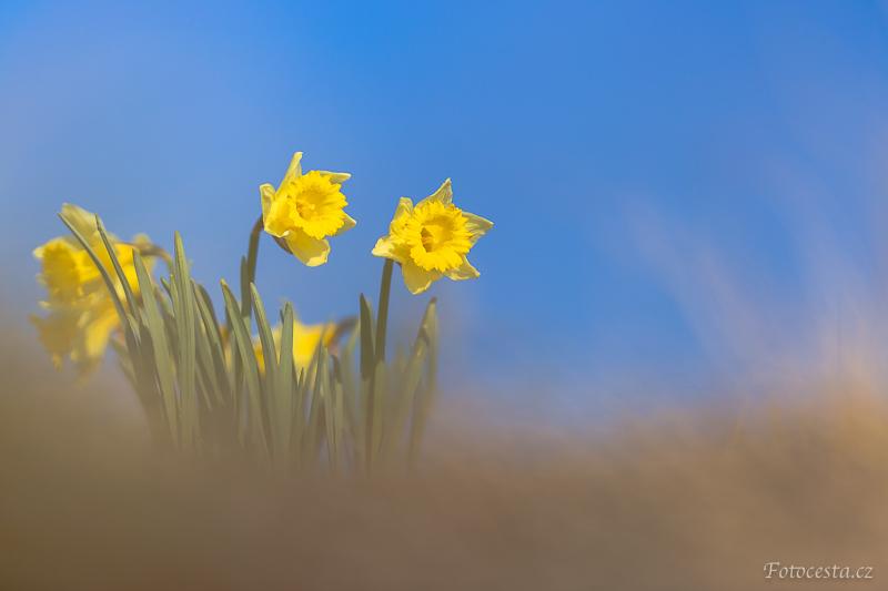 Žluté narcisy.