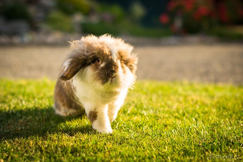 Běžící zakrslý králíček.
